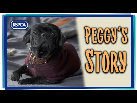 Amazing Rescue Story of 'breeding machine' Pug thrown from van!