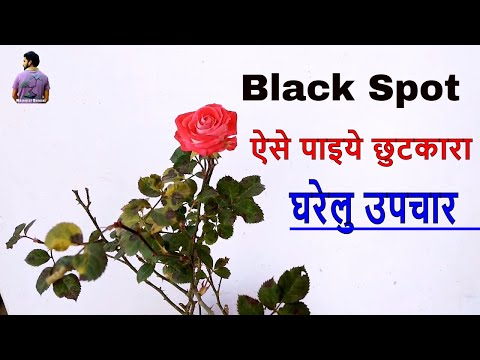 Home Remedies For Black Spot On Rose Plant   /Fungus on Rose Plant /Mammal Bonsai