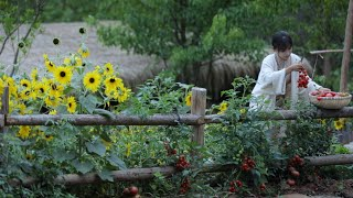 The life of tomato~番茄………的一生?