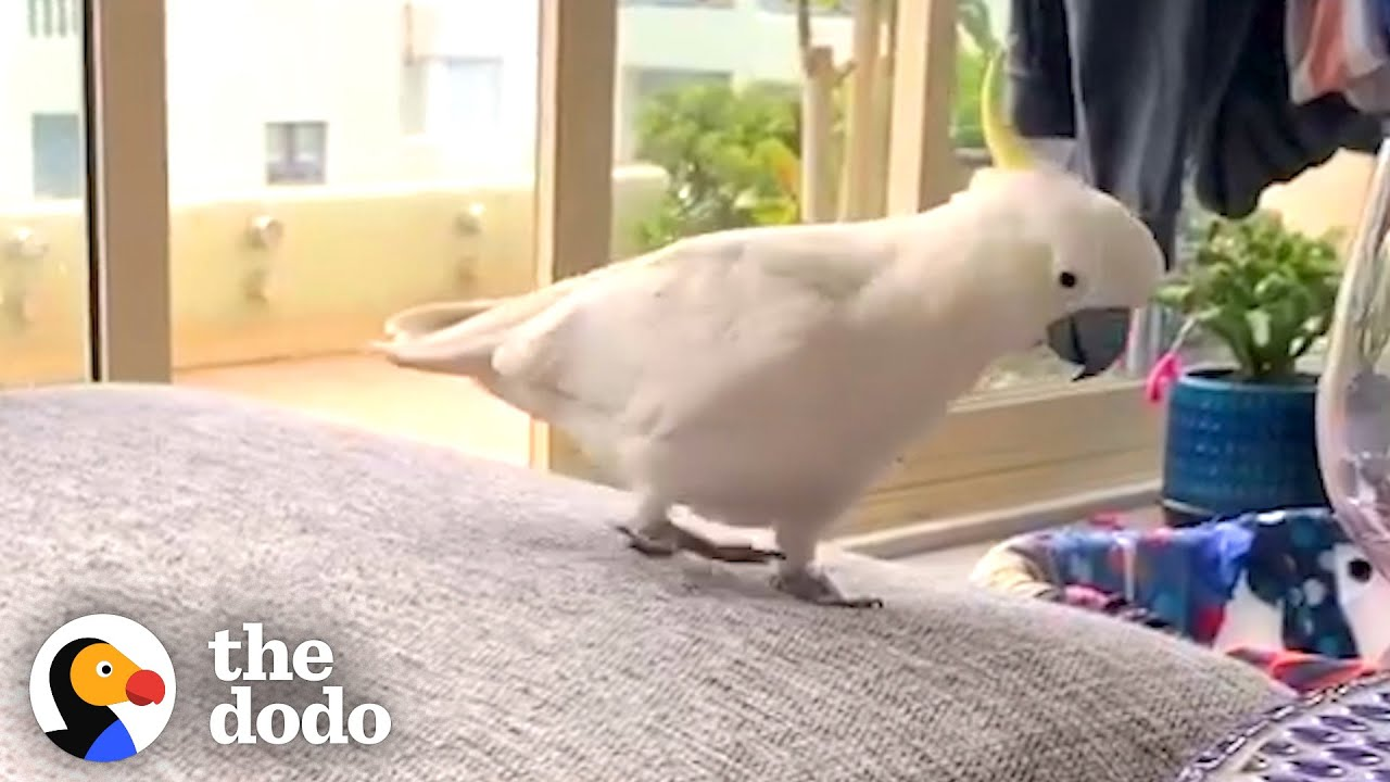 This Wild Cockatoo Does This To His Favorite Person Every Day   The Dodo Wild Hearts