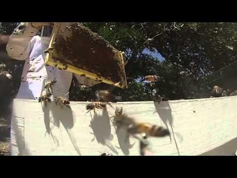 Italian Honeybees vs Africanized Swarm