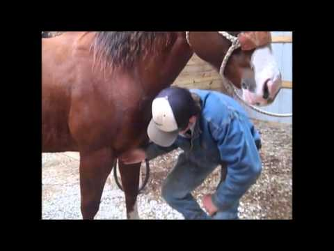 How to relieve Dew Poisoning in  horses within hours.