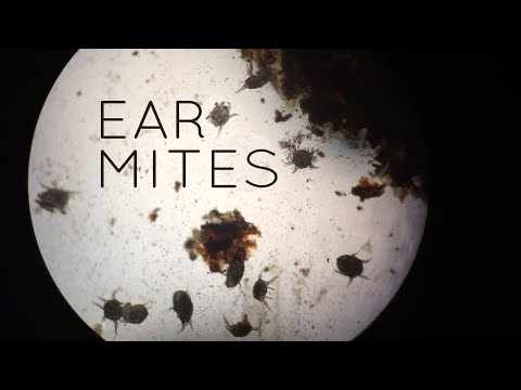 Ear Mites in Cats, Kittens, Puppies...and Sometimes People