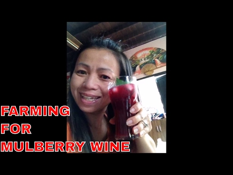 MY THAI LIFE   HOW A THAI FARMER MAKES  MULBERRY PUNCH/WINE