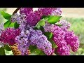 Peaceful Relaxing Instrumental Music Meditation And Calm Music quotLilac Mountainquot By Tim Janis