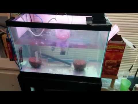 2015-04-04 Brine Shrimp Hatchery and Adult Brine Shrimp