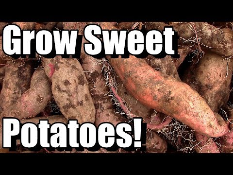 How to Grow, Cure, and Store Sweet Potatoes