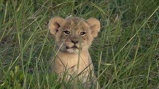 SafariLive jan 25- BREAKING NEWS!!  Not 3 but 4 Sausage lion cubs!!!