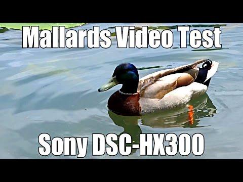 Sony Cyber-Shot DSC-HX300 Video Test - Mallard Ducks