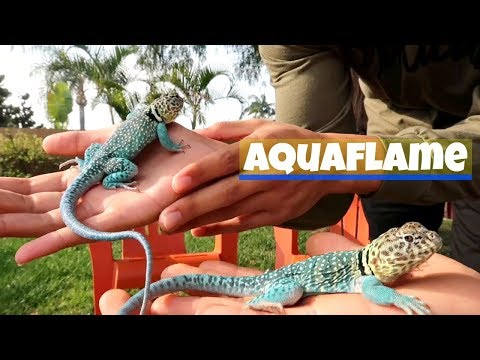 WHY COLLARED LIZARDS MAKE GREAT PETS