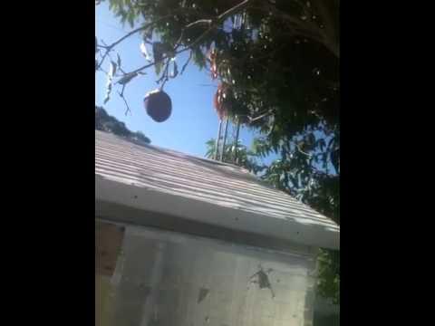 How Florida Raccoons Eat Mangos