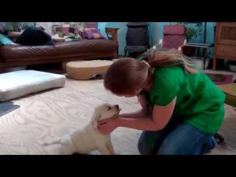 Rocky x Tildy YF (EXAMPLE BLSD SERVICE DOG PUPPY TEST)