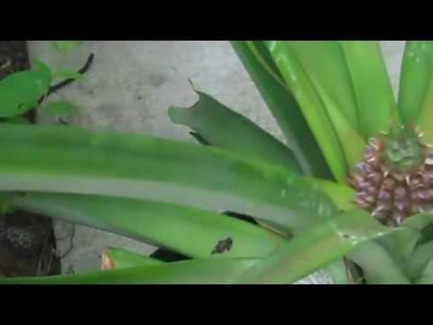 Pineapple Development Bud to Fruit .mp4
