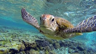 Swim with a hungry sea turtle at Lady Elliot Island, Great Barrier Reef, Australia