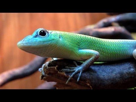Green Tree Skinks at Northampton Reptile Centre