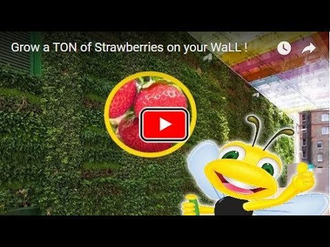 Growing Strawberries on a Wall (How To)