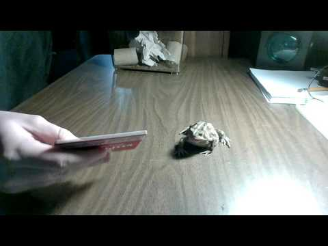 Two ways to feed a blind or injured toad