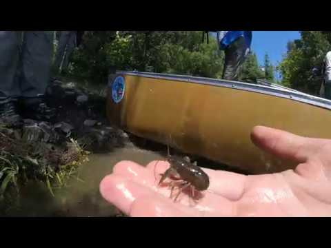 Catching Crayfish in Minnesota