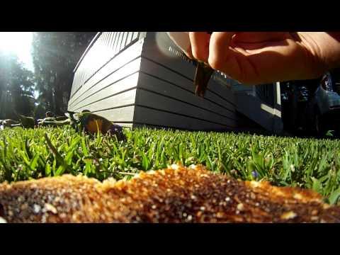 Rainbow Lorikeets In Australia Filmed With Gopro Full Hd