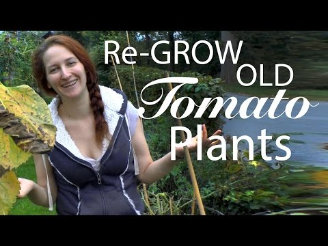 Tomatoes: Extending the life of your plants by bringing old tomato plants back to life