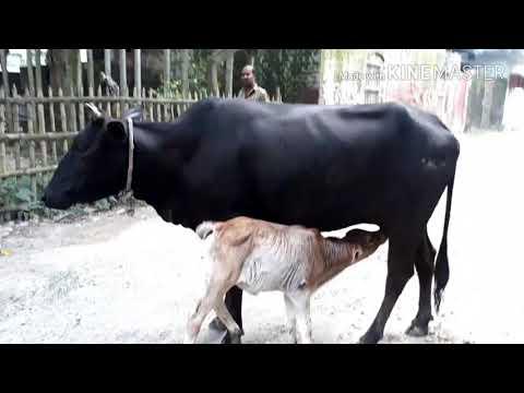 Baby cow drinking milk - Thirsty / Village life show