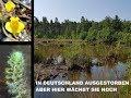 #19 Aldrovanda vesiculosa an diesem Standort wächst sie noch   Fleischfressende Pflanze   Green Jaws