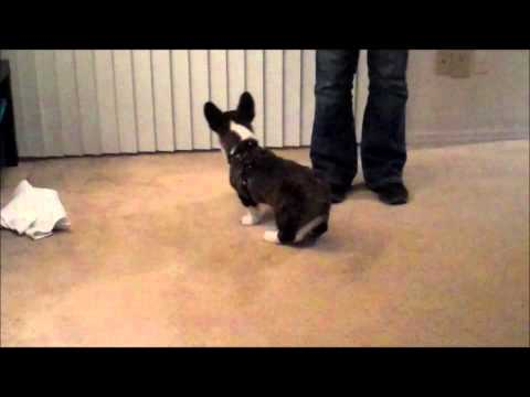 Teach Your Puppy to Stop Jumping in 5 Minutes