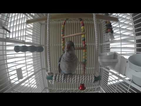 Our smartest Talking  Blue Quaker Parrot Bird - 1 year old - named Blue