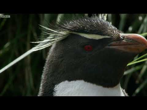 Hilarious young penguins learn to climb | Wild Patagonia | BBC Earth