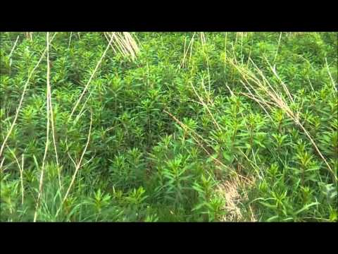 Wild Edibles - Rosebay willowherb (Fireweed) Spring/Summer
