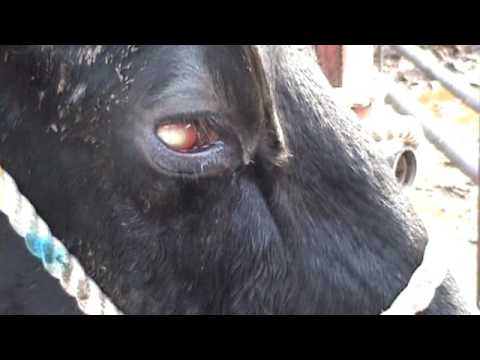 Holstein Cow with New Forest Eye Disease