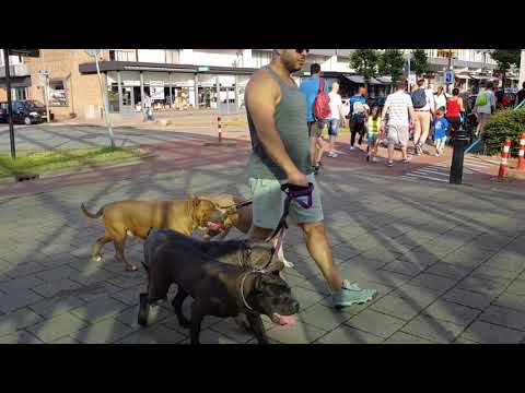 Walking with 4 Bully Pitbulls in public for the first time