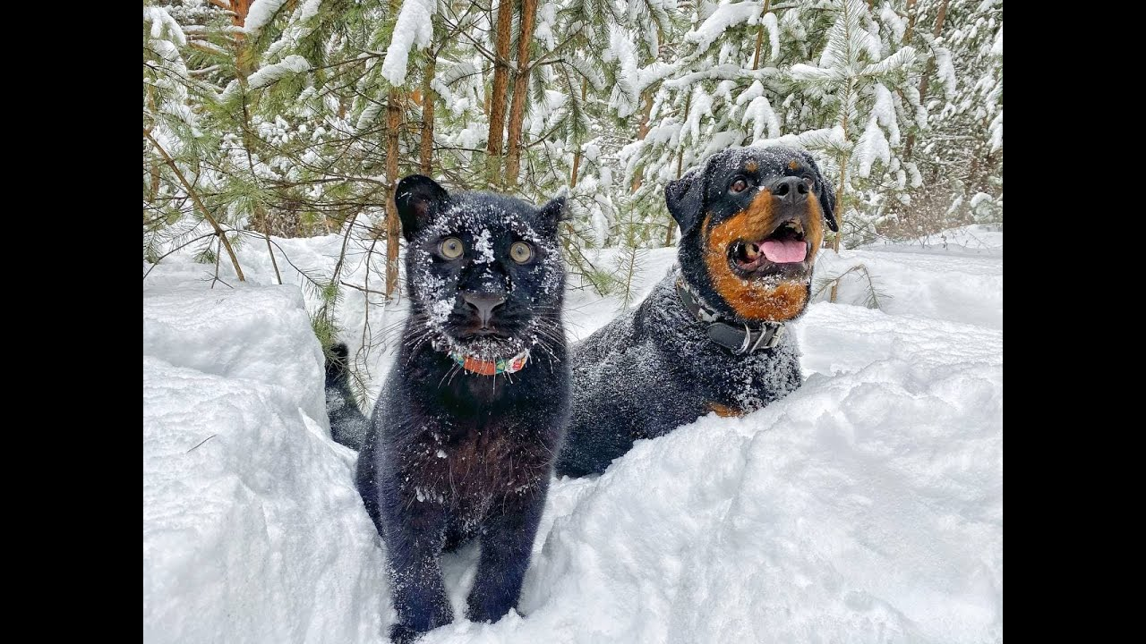 The relationship between Luna and Venza. Friendship of leopard and Rottweiler. Cats and dogs
