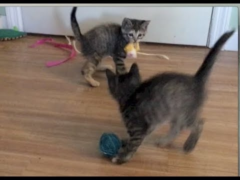 Kittens Find A Mouse & Love To Bite - #27 - Rescue Kittens Socialization