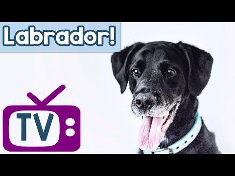 Labrador Dog TV! Music and TV to Calm and Entertain Labradors! Boredom Therapy for Labrador Dogs!