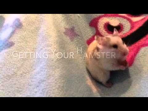 Biscuit the hamster- How to keep your hamster entertained