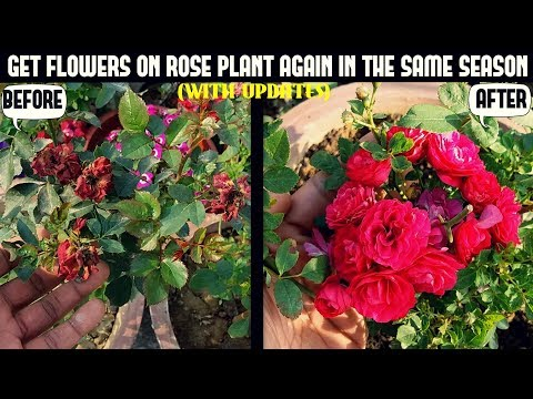 How to Get Roses to Re-Bloom-100% RESULT ( WITH UPDATES)
