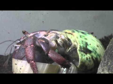 Hermit Crab Trick
