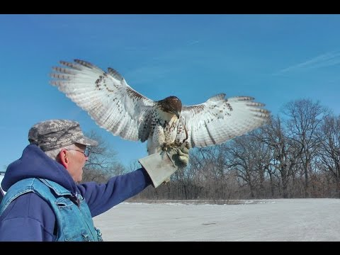 Viral quality Bruce Pressler Falconer Red Tail hawk hunts rabbits, Brushy Creek Iowa