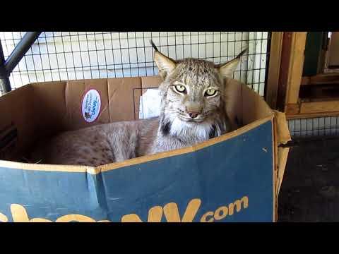 Max Canada Lynx Fun & Games