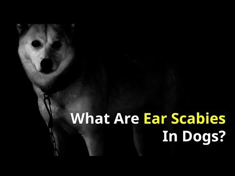 What are Ear Scabies in Dogs - How to cure them