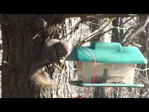 Nature Series: Stop thief !! squirrel takes over my bird feeder stealing sunflower seeds !