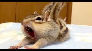 Rescue chipmunk discovers new bed sheets. His reaction has the Internet in stitches