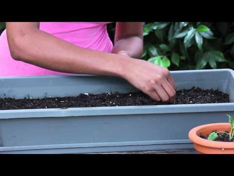 Spinach Germination : Garden Seed Starting