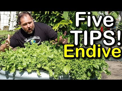 5 Tips How to Grow a Ton of ENDIVE in Just One Raised Bed Container