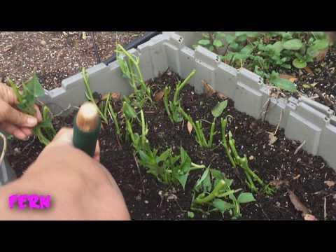 How to grow edible potato cuttings