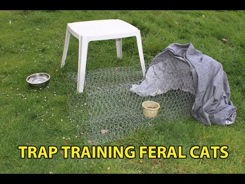 Training feral cats to enter an automatic trap or drop trap