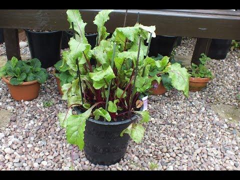 Pot grown Beetroot (Beets) update. How to grow Beetroot, How to grow Beets.