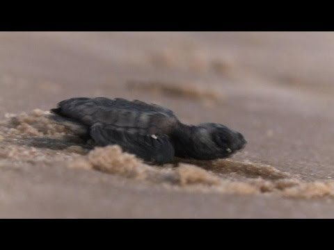 Brazil: biologists help baby turtles get to the sea