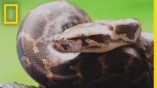 Pythons 101 | National Geographic